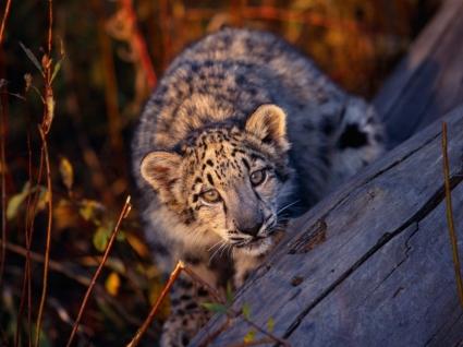 Leopard Cub Wallpaper Baby Animals Animals