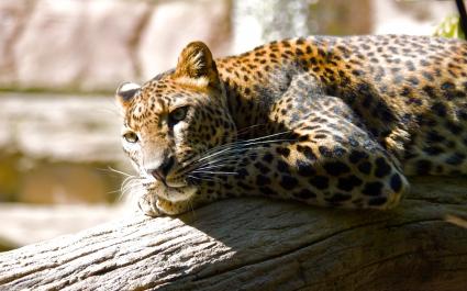 Leopard HQ
