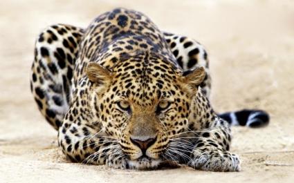 Leopard Staring