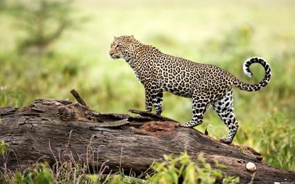Leopard Wildlife