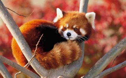 Lesser Panda Japan