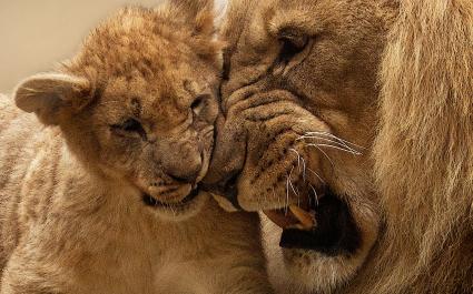 Lion Mother Cub