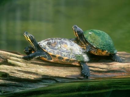 Log Jumping Peninsula Cooter Turtles Wallpaper Turtles Animals