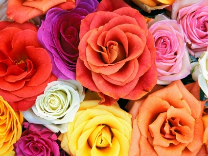 Love Blooms Roses Wallpaper Flowers Nature