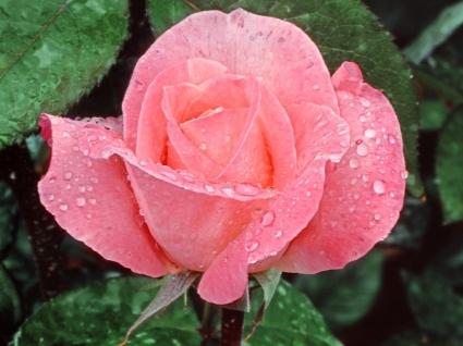 Lovely Rose Wallpaper Flowers Nature