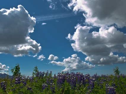 Lupines Wallpaper Landscape Nature