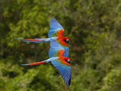 Macaws in Flight Wallpaper Parrots Animals