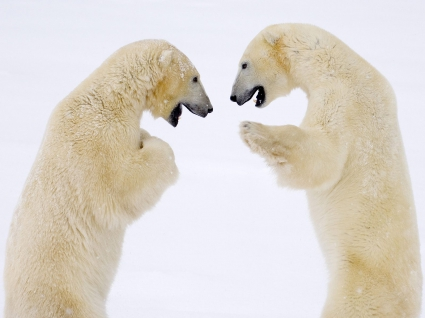Male Bears Sparring Canada