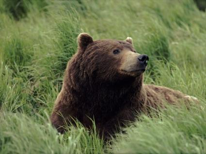 Meditatively Wallpaper Bears Animals