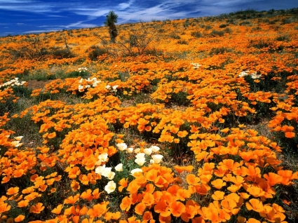 Mexican Gold Poppies Wallpaper Flowers Nature