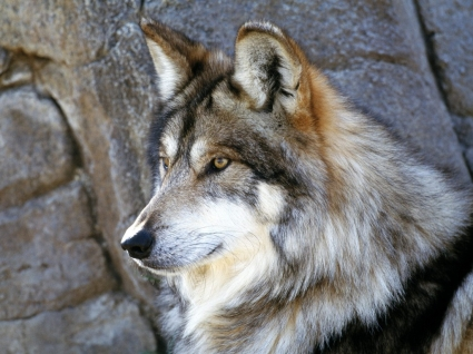 Mexican Wolf Wallpaper Wolves Animals