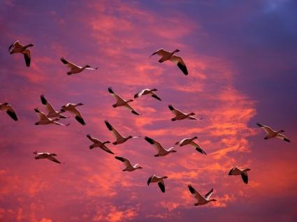 Migrating Snow Geese Wallpaper Birds Animals