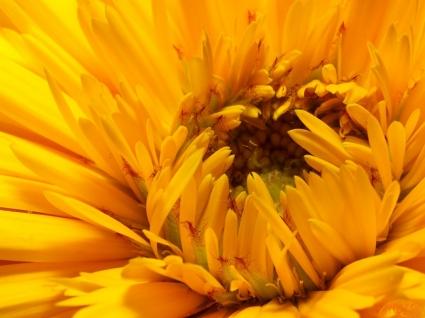 Monochromatic Yellow Wallpaper Flowers Nature