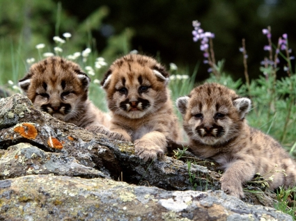 Mountain Lion Cubs Wallpaper Baby Animals Animals