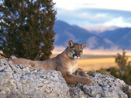 Mountain Lion Wallpaper Big Cats Animals