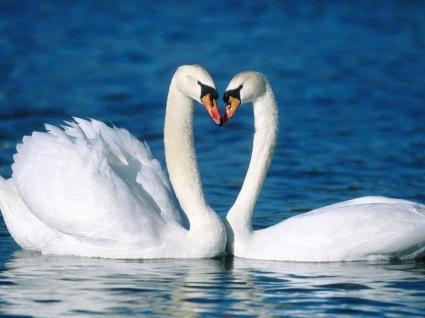 Mute Swans Wallpaper Birds Animals