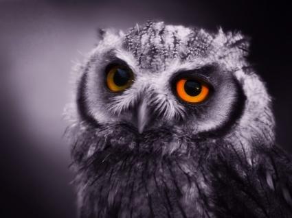 Night Owl Wallpaper Birds Animals