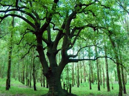 Ombu tree Wallpaper Plants Nature