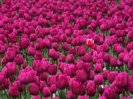 One in a Million Skagit Valley Tulip Festival Washington