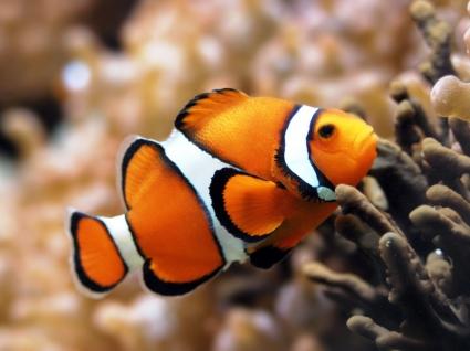 Orange Clownfish Wallpaper Fish Animals