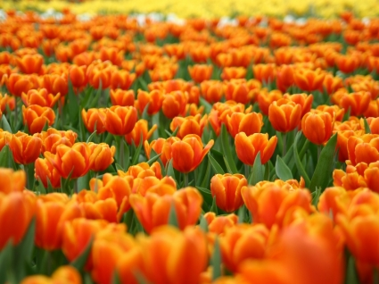 Orange Tulips Wallpaper Flowers Nature