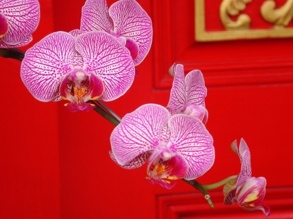 Ornate Orchids Wallpaper Flowers Nature