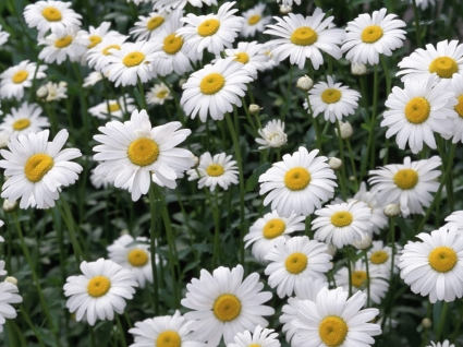Oxeye Daisies Wallpaper Flowers Nature