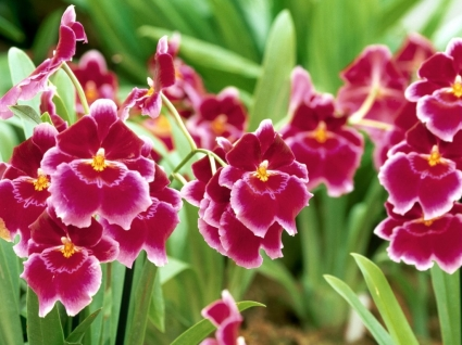 Pansy Orchid Wallpaper Flowers Nature
