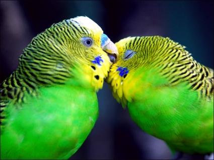 Parrots in love Wallpaper Parrots Animals