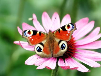 Peacock Butterfly Flower