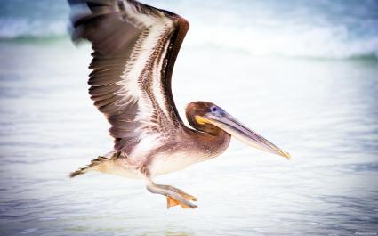 Pelican Water Bird