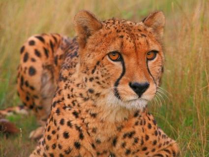 Pepo the Cheetah Wallpaper Cheetahs Animals