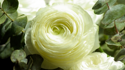 Persian Buttercup White Flower