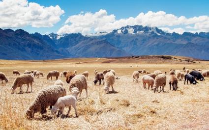 Peru Sheep Fields