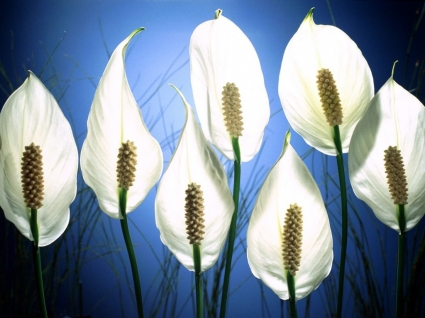 Pick Me Peace Lilies Wallpaper Flowers Nature