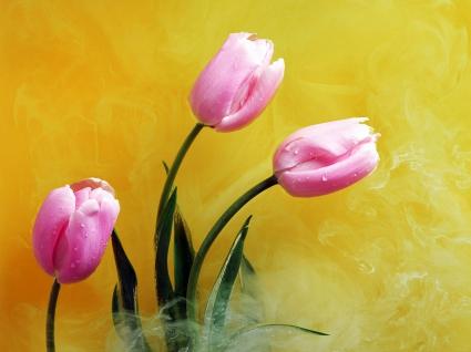 Pink Buds & Yellow Smoke