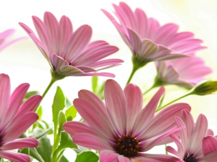Pink Daisies Wallpaper Flowers Nature