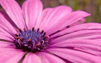 Pink flower HD Wide