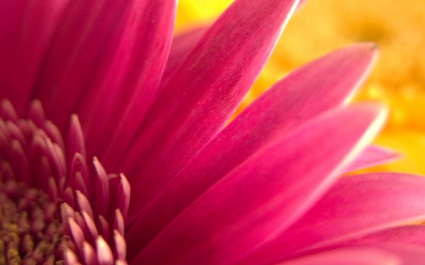 Pink Flower Widescreen