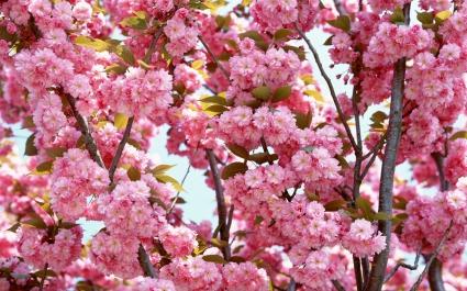 Pink Flowers Bloom