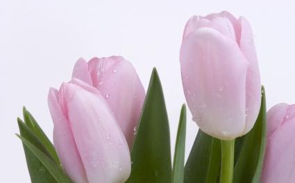 Pink Fresh Tulips Wallpaper Flowers Nature