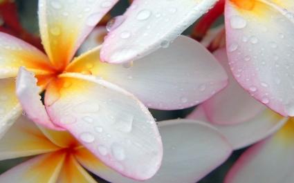 Plumeria After Morning Rain Wallpaper Flowers Nature
