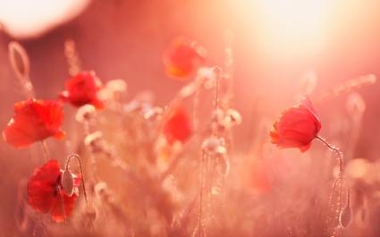 Poppy Flowers Summer Light