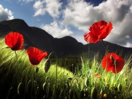 Poppy Wallpaper Flowers Nature