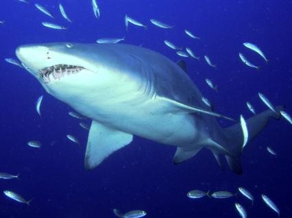 Predator Sand Tiger Shark