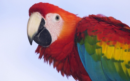 Profile of a Scarlet Macaw