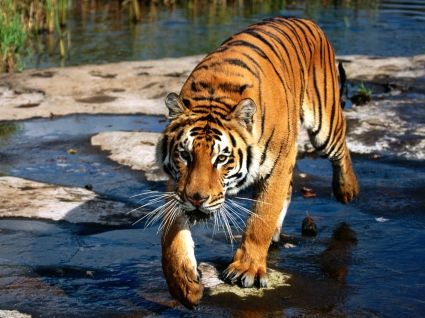 Prowler, Bengal Tiger