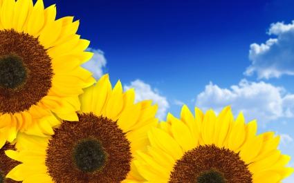 Pure Yellow Sunflowers
