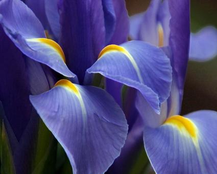 Purple Great Flower