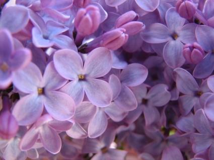 Purple Lilac Wallpaper Flowers Nature
